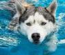 cão-nadando