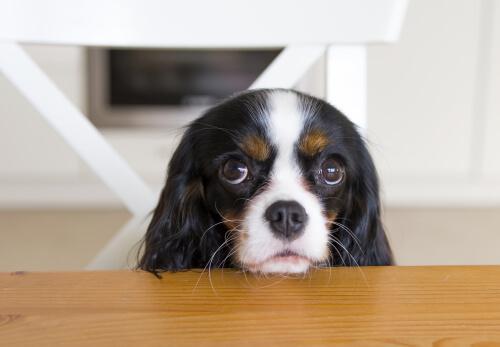 Cão pedindo comida