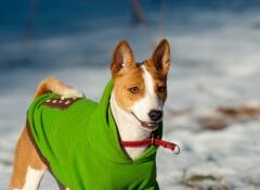 cão-roupa