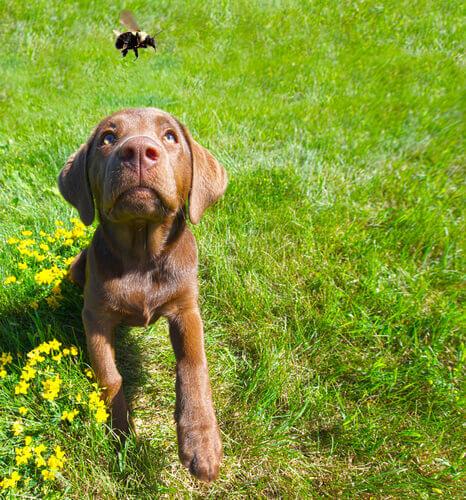 A picada de abelha ou vespa no cão: como agir
