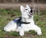 cachorro-husky-siberiano