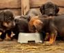 cachorros-comendo