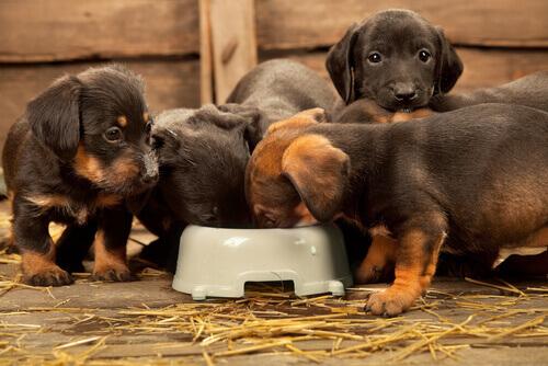 Dicas para ajudar o seu cão a comer mais devagar