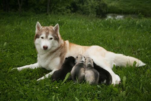 Dicas para antes de cruzar os cães