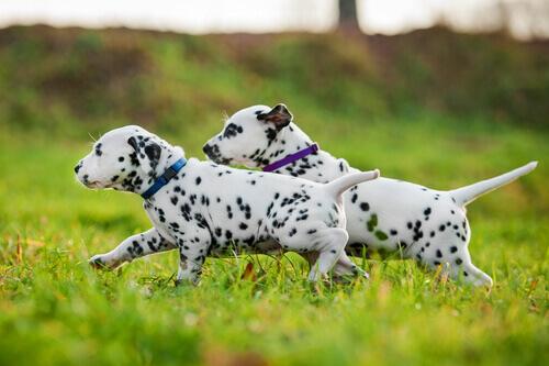 5 raças de cães que têm mais energia