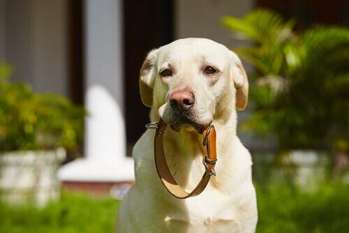 Coleiras e correias para cães. Conheça-as!