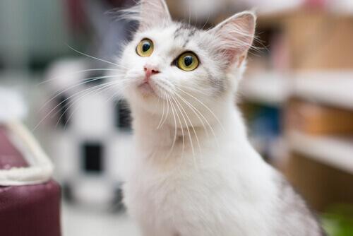 O que o seu gato quer segundo seu comportamento?