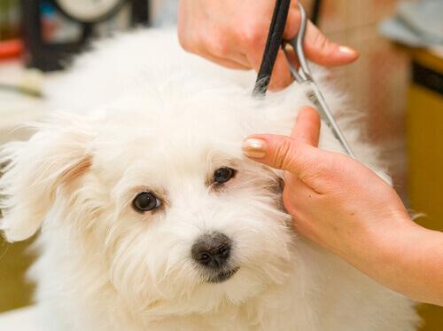 Cortar o pelo dos cachorros