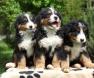 filhotes-cachorros