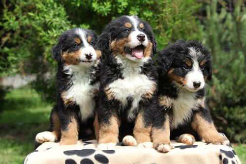 Parvovírus em cães