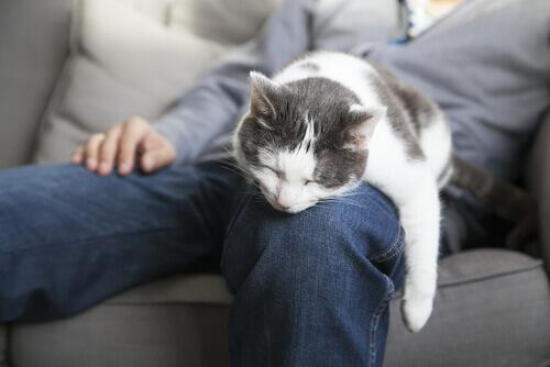 Gato dormindo no colo do dono
