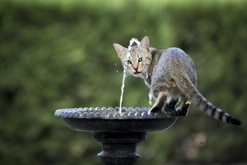 Gato em fonte de água