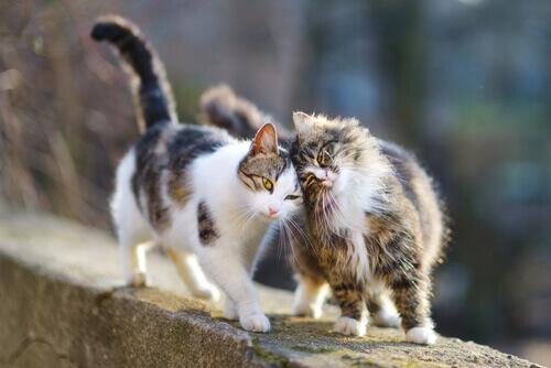 Gatos no cio