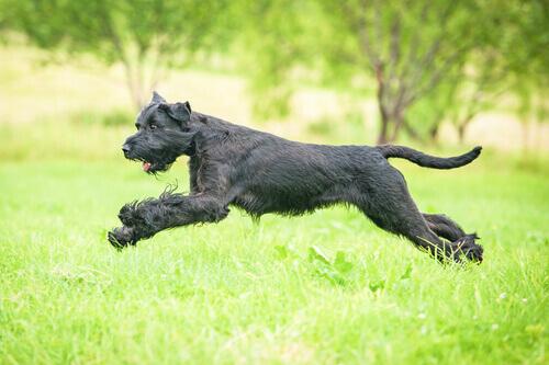 Conselhos para os donos de cães de raça gigante