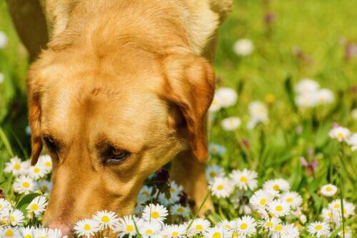 Cão cheirando flores