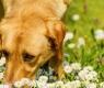 intoxicação-cão