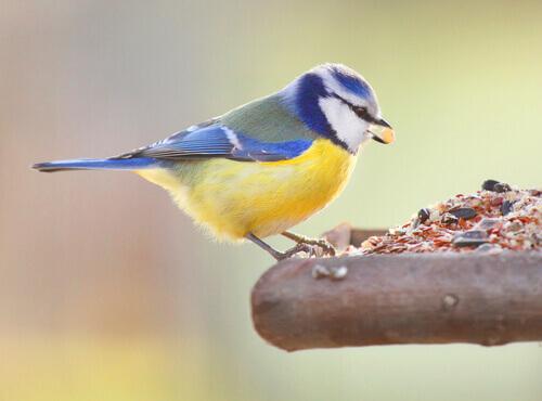 pássaro-comendo