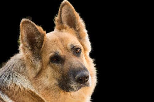 Diabetes em cães: tratamento adequado