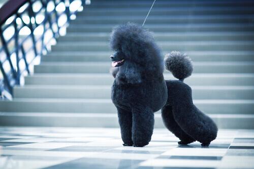 A estética dos Poodles