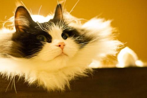 O Ragamuffin, um gato carinhosíssimo e enorme