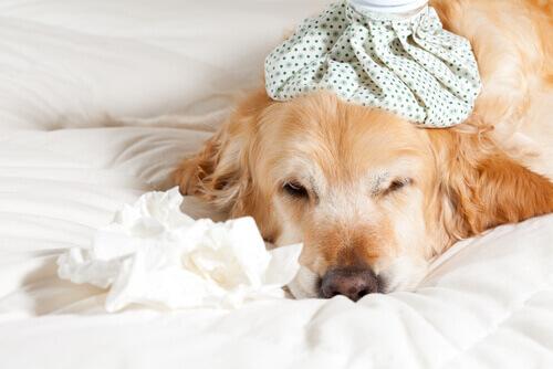 Como prevenir e tratar o resfriado dos cães