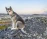 Northern-Inuit-lobo