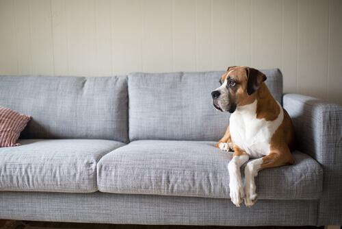 Boxer no sofá