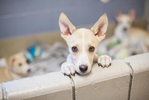 Sabia que os cães comprados em lojas são mais problemáticos?