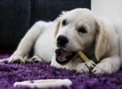 Como ensinar seu cão a comer devagar