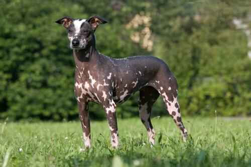 Cão pelado peruano