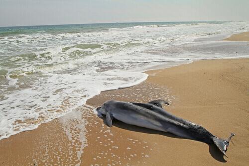 Golfinho na praia