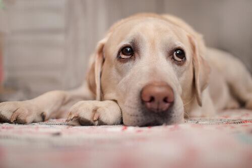 Cachorro com doença cardíaca