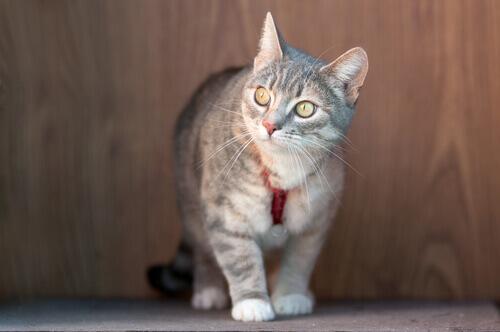 Gato com coleira anti-parasita