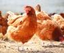 criar-galinhas