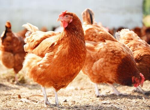 7 conselhos básicos para criar galinhas