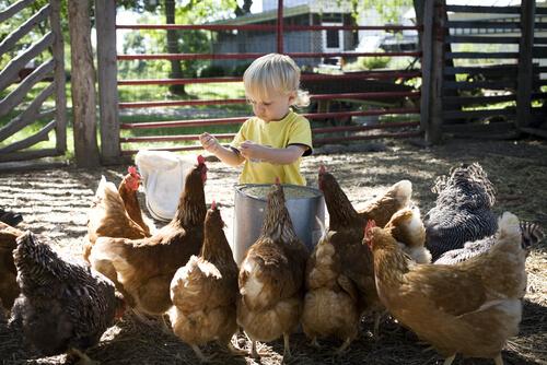 Criança e galinhas