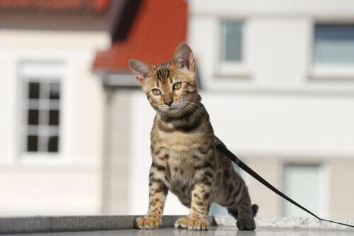 Como treinar um gato para passear com coleira