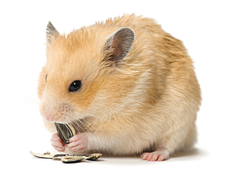 Hamster comem