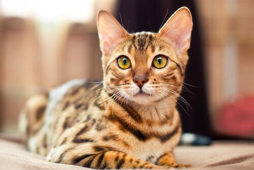 Conheça o gato de Bengala ou gato Bengal