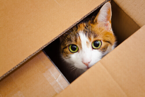 Gato em caixa
