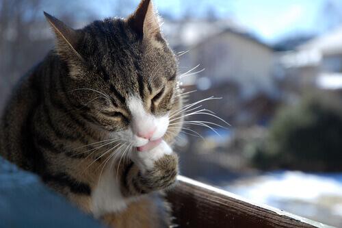 Comportamento compulsivo nos gatos
