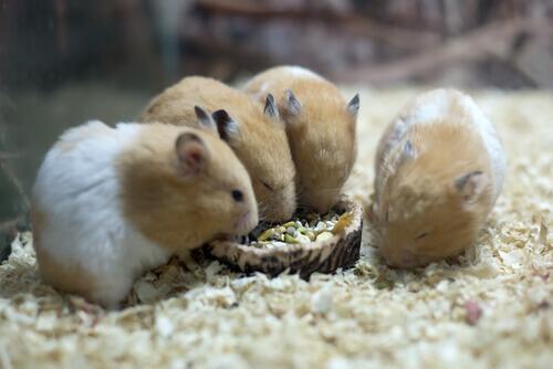 O que os hamsters comem?