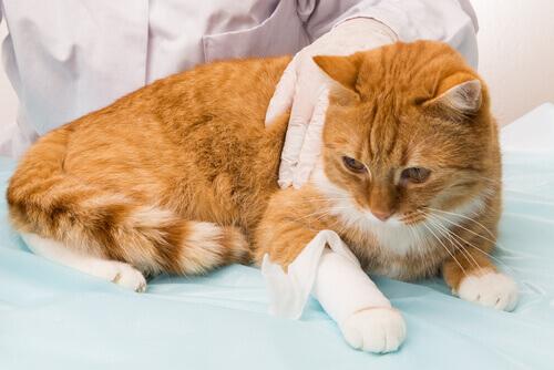 Hemorragia em gatos: como agir para minimizar os danos