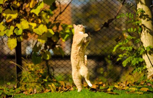 O que é a hiperestesia felina ou síndrome do gato nervoso?