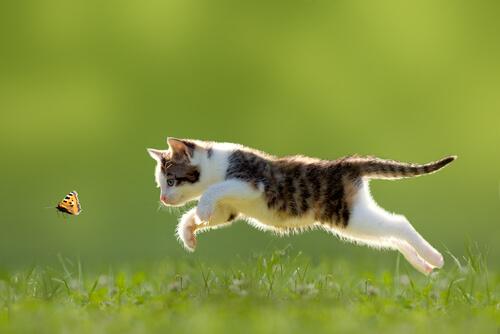 Gato caçando borboleta