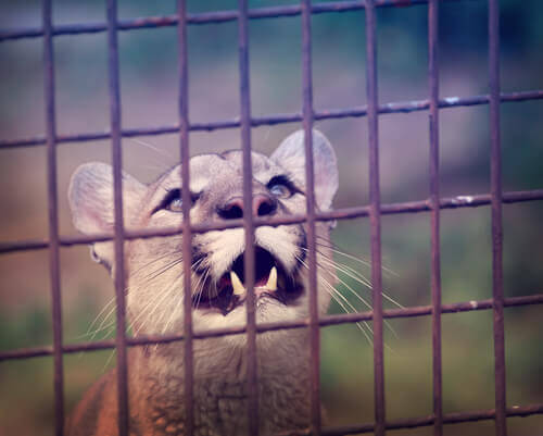 Onça de circo é liberada depois de ficar 10 anos presa