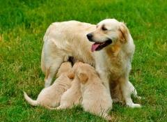 A mastite nas cadelas