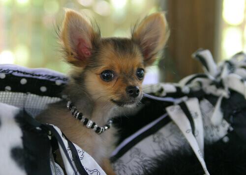 Moda para cães que nunca devem ser seguidas