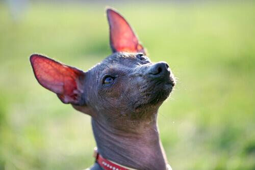 Tudo sobre o cão pelado peruano