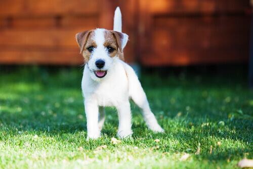 Seu primeiro cão